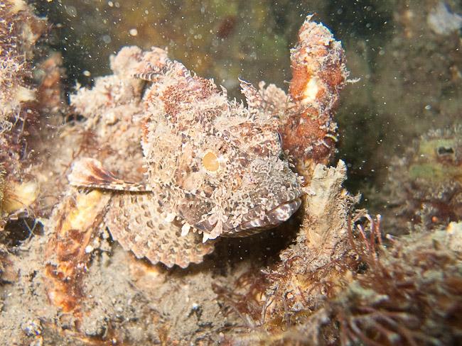 juvenile california scorpionfish